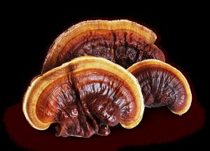 Ganoderma - Pecsétviaszgomba
